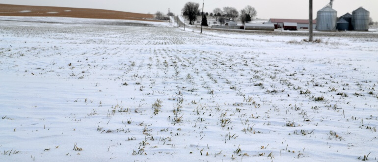 Cover Crops in the Snow