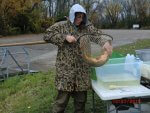 volunteer holding a carp in a fishing net