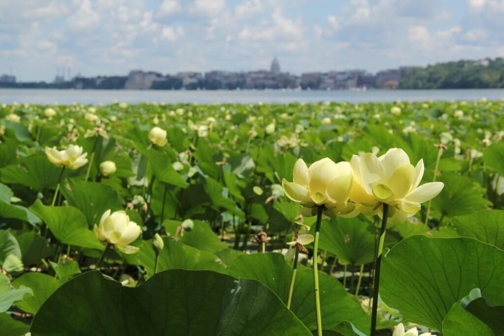 American Lotus and the Wisconsin State Capitol - Lake Mendota