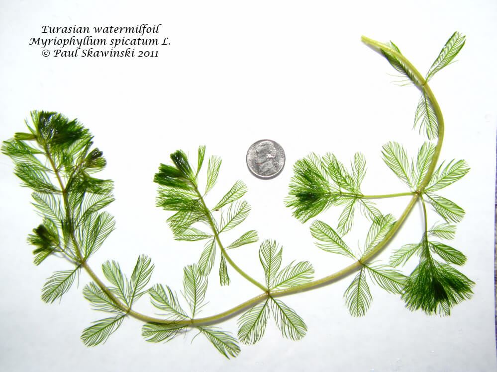 Myriophyllum spicatum - Paul Skawinski Aquatic Plants of the Upper Midwest