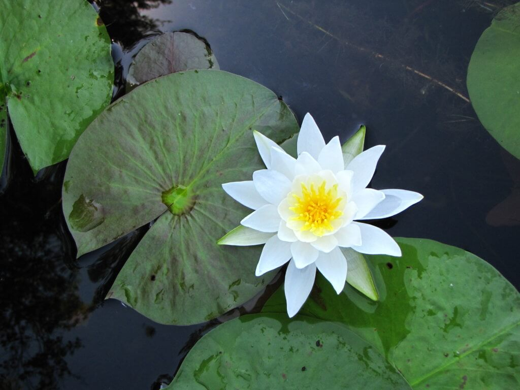 Nymphaea odorata - Paul Skawinski, Aquatic Plants of the Upper Midwest