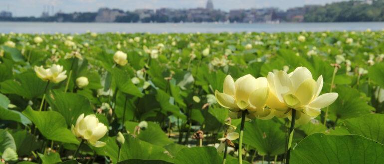 Lake Mendota water lilies capitol